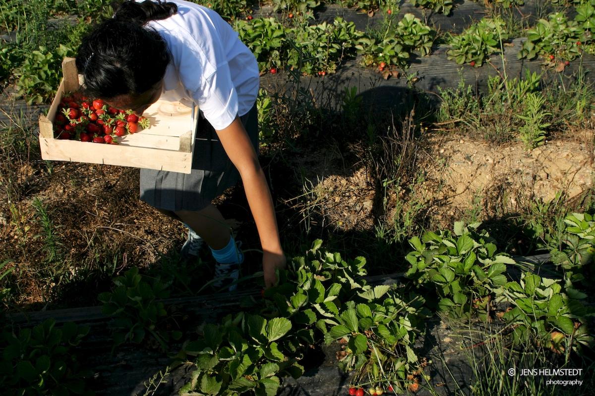 Erdbeeren pflücken in Anamur