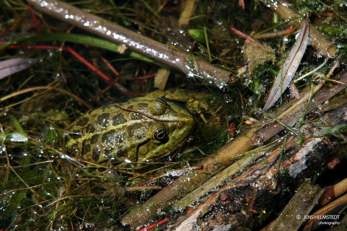 Frosch am Eğirdir-See in der Provinz Isparta